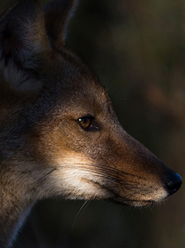 Fox/Zorro Patagonia, Chile Ultra Paine Conservation