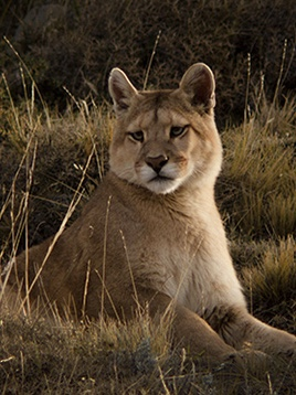 Puma Patagonia, Chile Ultra Paine Conservation