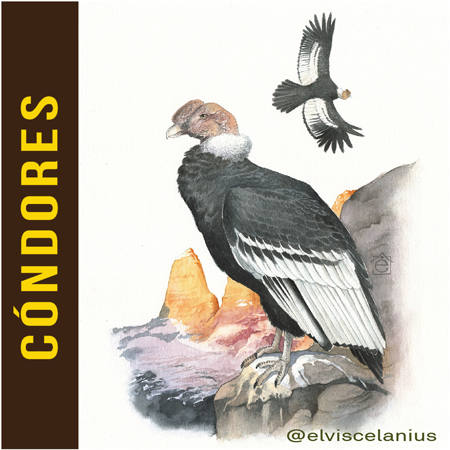Categ Condores
