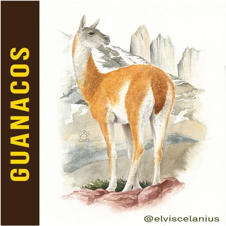 Categ Guanacos