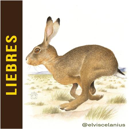 Categ Liebres Hares