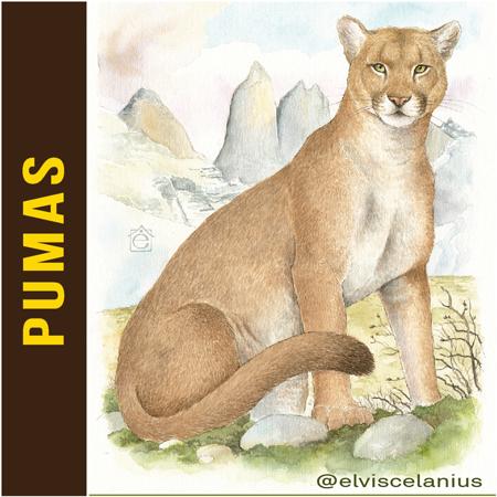 Categ Pumas