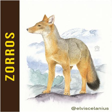 Categ Zorros Foxes